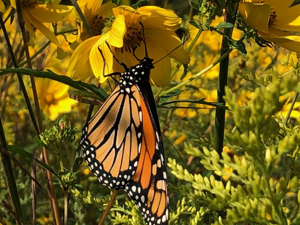 Monarch butterfly feeds on yellow flower