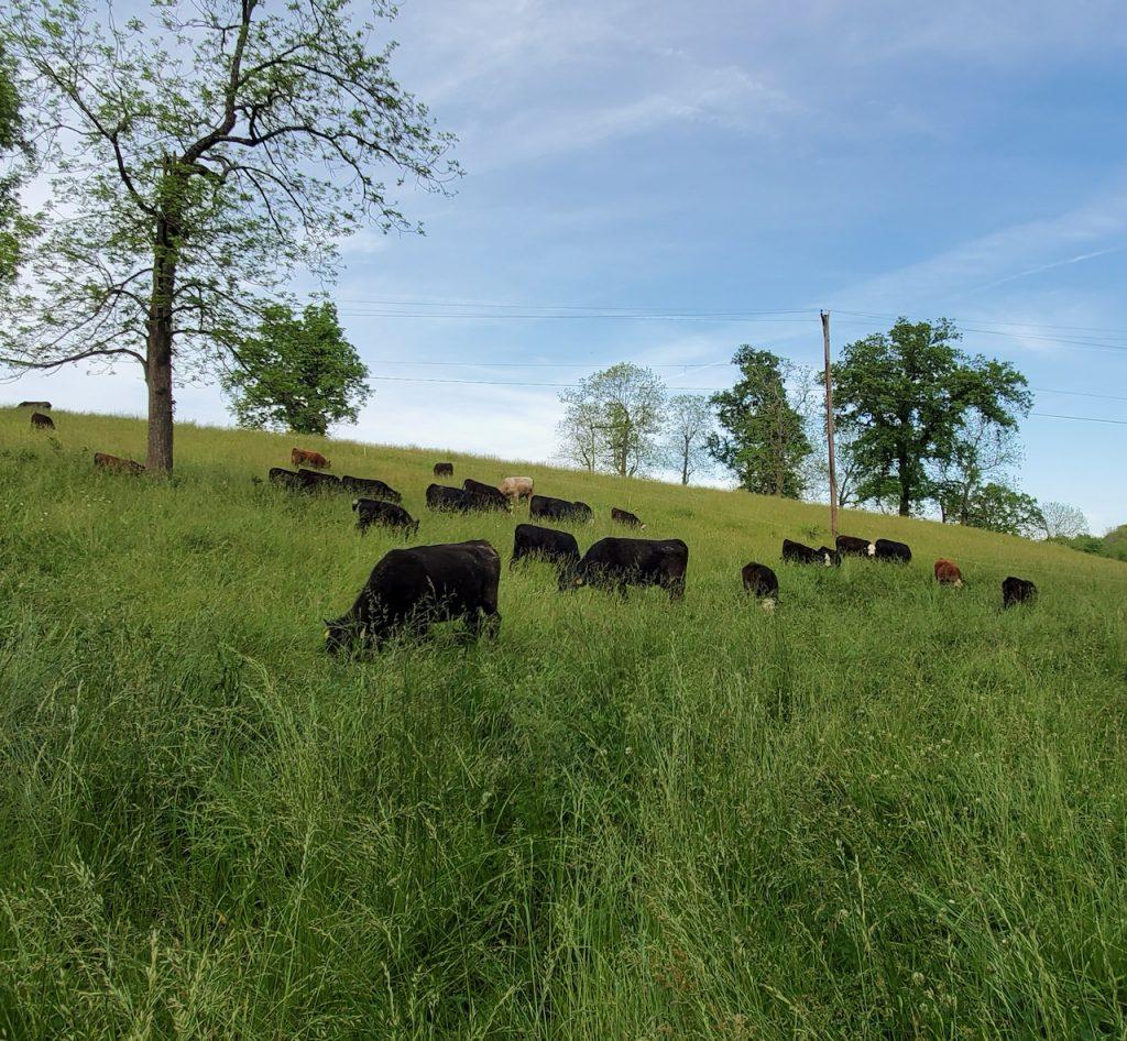 A herd of cattle grazes on a hillside.