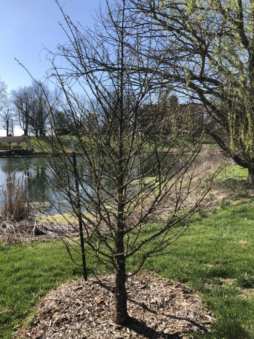 Budding tree in front of Badin Pond.