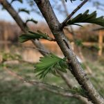 Dawn redwood tree leafing out