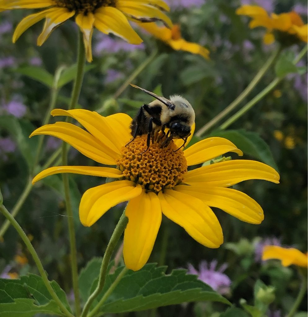 A bee feeds on a yellow flower.