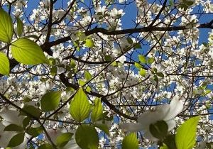 Dogwood pic by Donna Mattingly