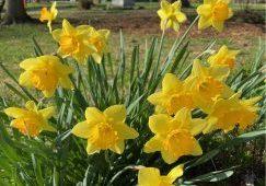 Bright yellow daffodils bloom.