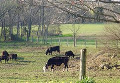 Motherhouse-Cows-in-Field-Color-Editsquare