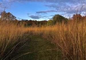 Tall-grasses-at-MH-Farm-by-C-Manweller
