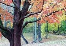 A photo of one of Bernheim Forest's beautiful red maples displaying its fall colors.